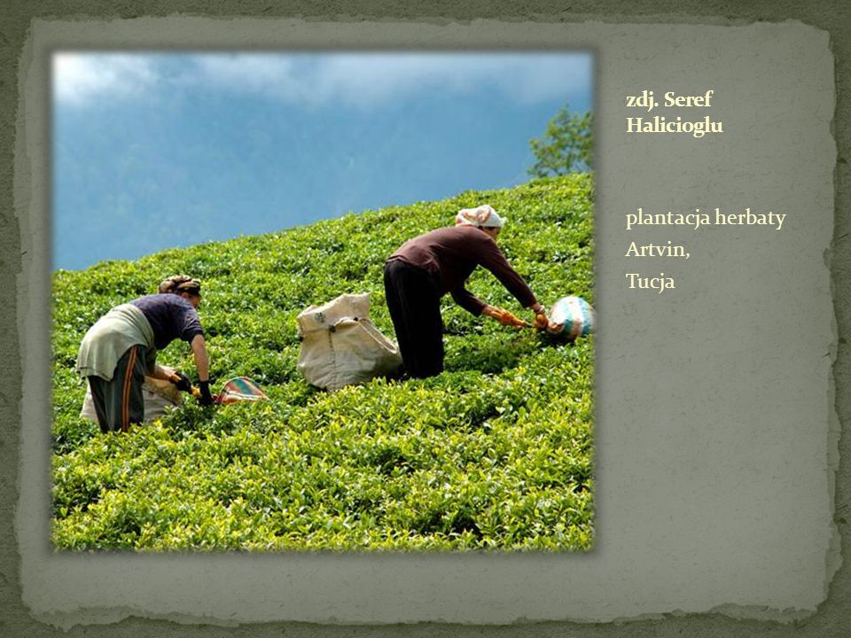 zdj. Seref Halicioglu plantacja herbaty Artvin, Tucja