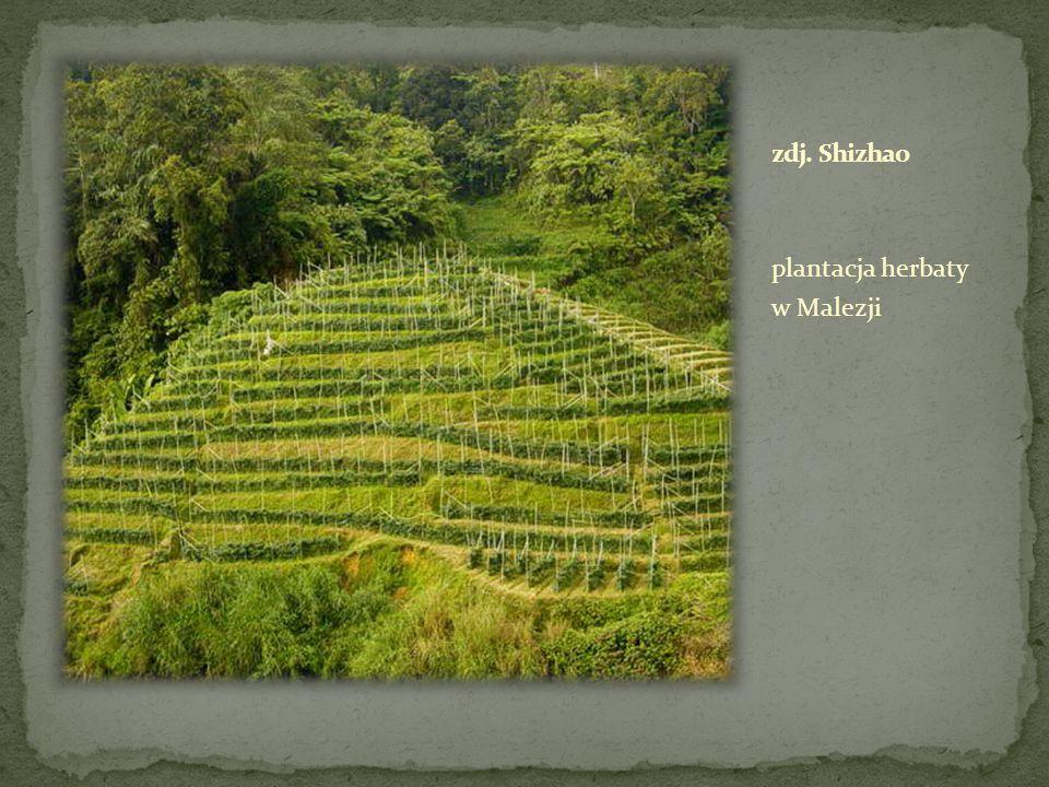 zdj. Shizhao plantacja herbaty w Malezji