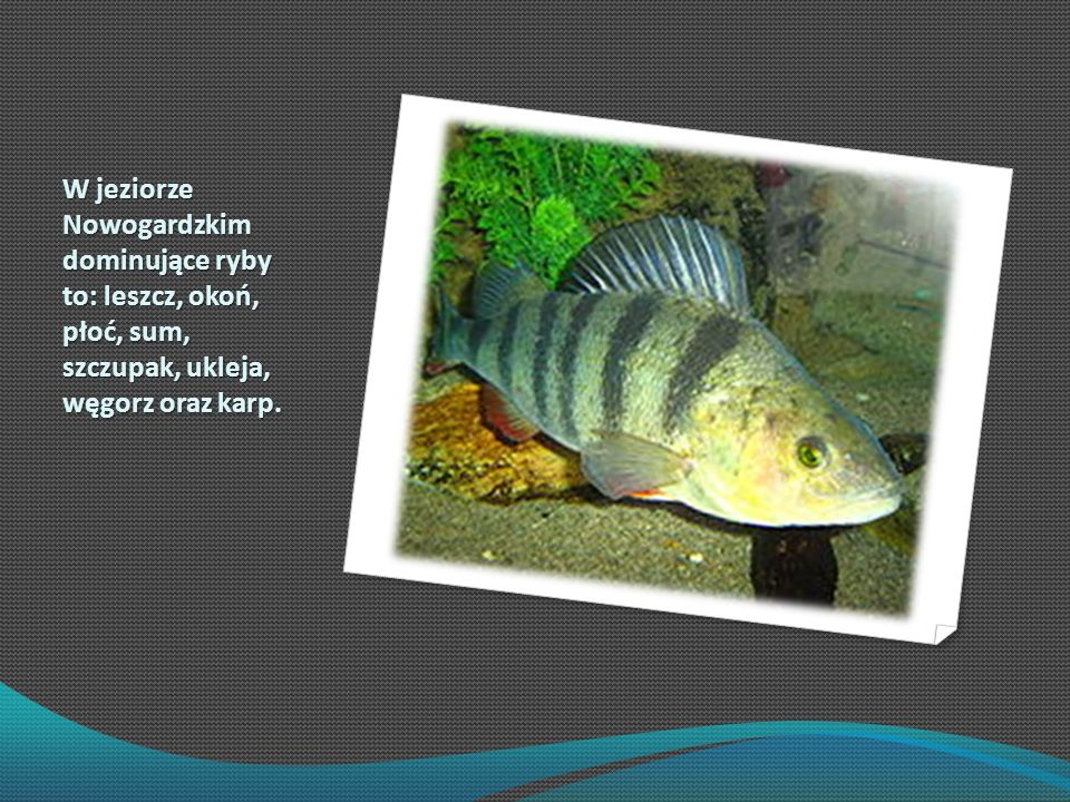 W jeziorze Nowogardzkim dominujące ryby to: leszcz, okoń, płoć, sum, szczupak, ukleja, węgorz oraz karp.