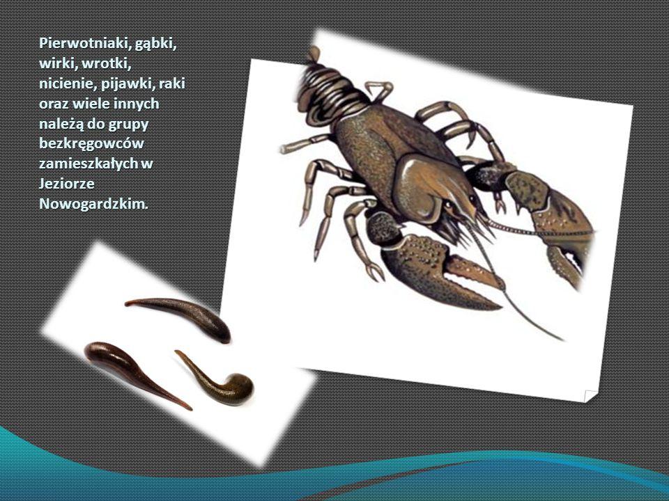 Pierwotniaki, gąbki, wirki, wrotki, nicienie, pijawki, raki oraz wiele innych należą do grupy bezkręgowców zamieszkałych w Jeziorze Nowogardzkim.