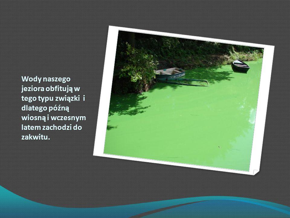 Wody naszego jeziora obfitują w tego typu związki i dlatego późną wiosną i wczesnym latem zachodzi do zakwitu.