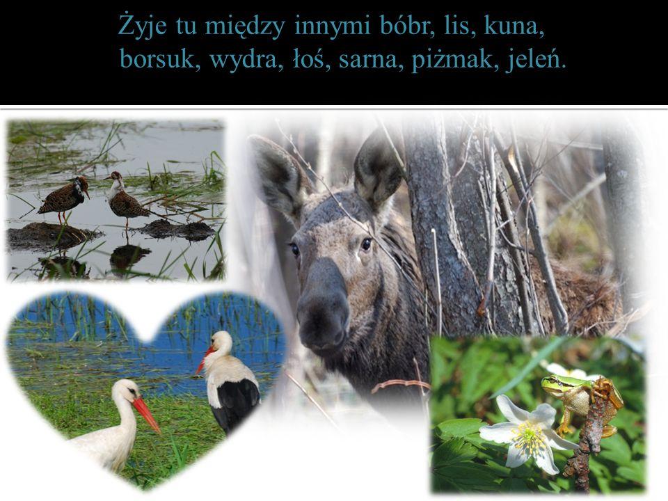 Żyje tu między innymi bóbr, lis, kuna, borsuk, wydra, łoś, sarna, piżmak, jeleń.
