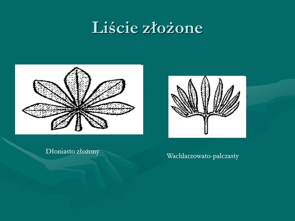 Liście złożone Dłoniasto złożony Wachlarzowato-palczasty