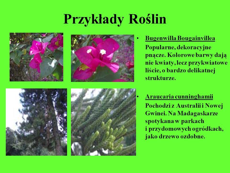 Przykłady Roślin Bugenwilla Bougainvillea