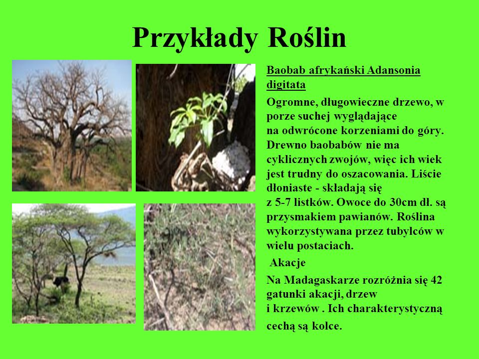 Przykłady Roślin Baobab afrykański Adansonia digitata