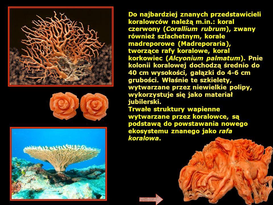 Do najbardziej znanych przedstawicieli koralowców należą m. in