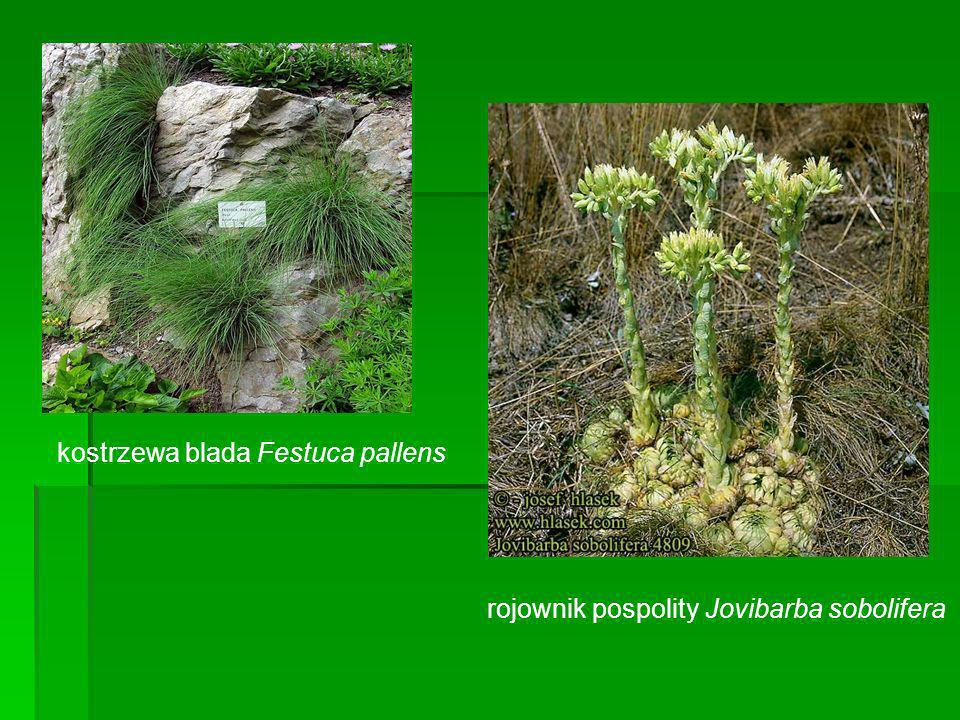 kostrzewa blada Festuca pallens