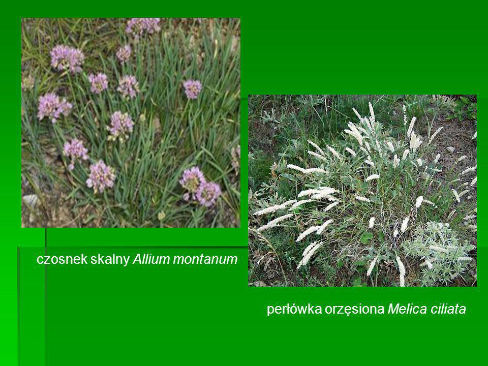 czosnek skalny Allium montanum