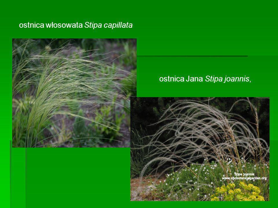 ostnica włosowata Stipa capillata