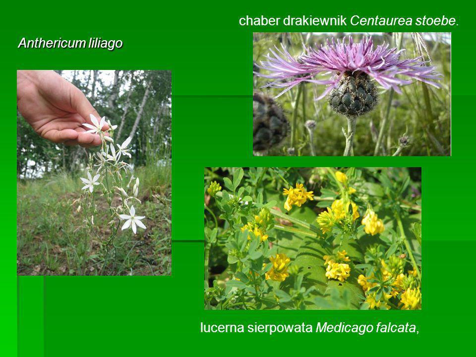 chaber drakiewnik Centaurea stoebe.