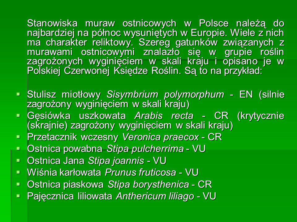 Przetacznik wczesny Veronica praecox - CR