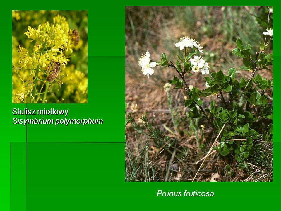 Stulisz miotłowy Sisymbrium polymorphum Prunus fruticosa