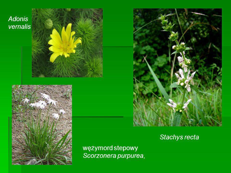 Adonis vernalis Stachys recta wężymord stepowy Scorzonera purpurea,