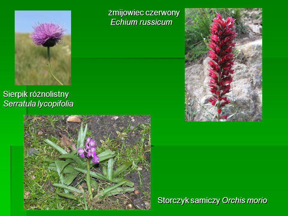 żmijowiec czerwony Echium russicum. Sierpik różnolistny.