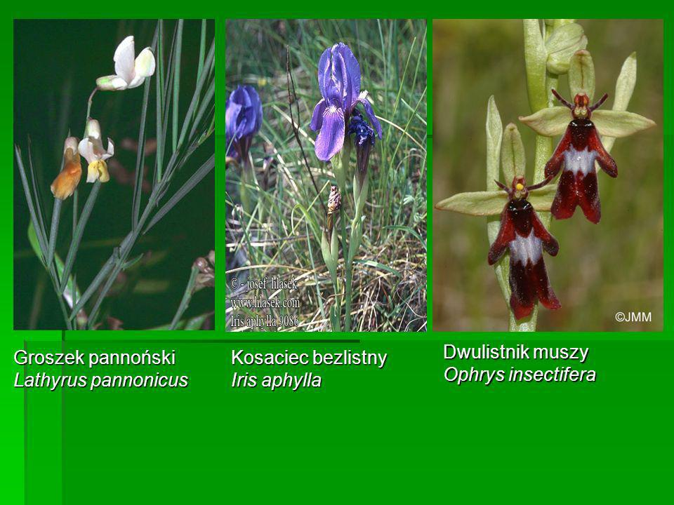 Dwulistnik muszy Ophrys insectifera. Groszek pannoński. Lathyrus pannonicus. Kosaciec bezlistny.