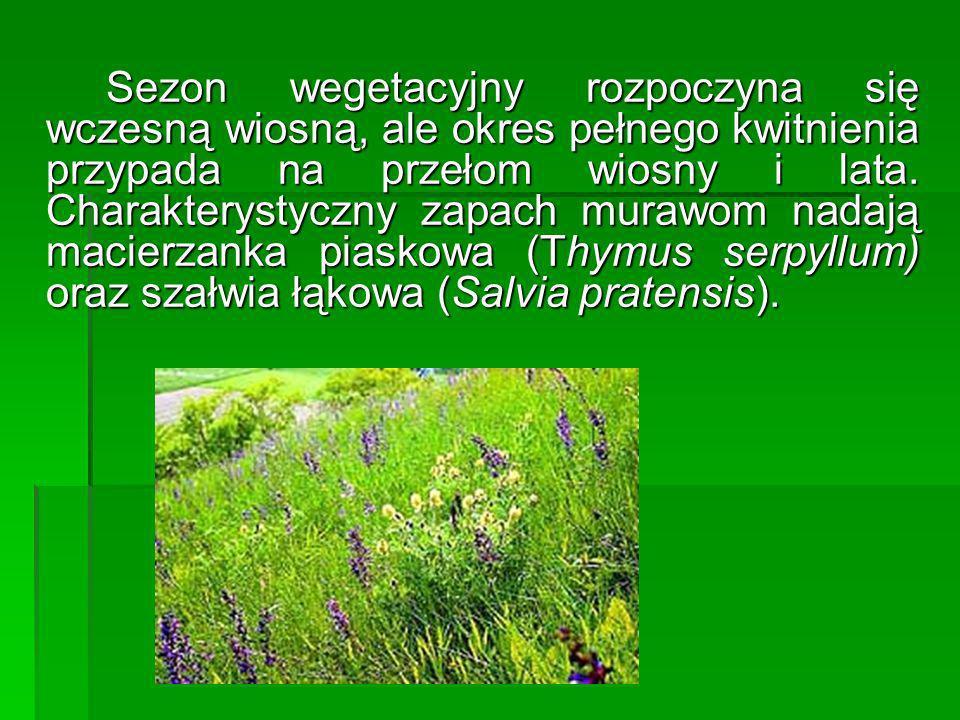 Sezon wegetacyjny rozpoczyna się wczesną wiosną, ale okres pełnego kwitnienia przypada na przełom wiosny i lata.