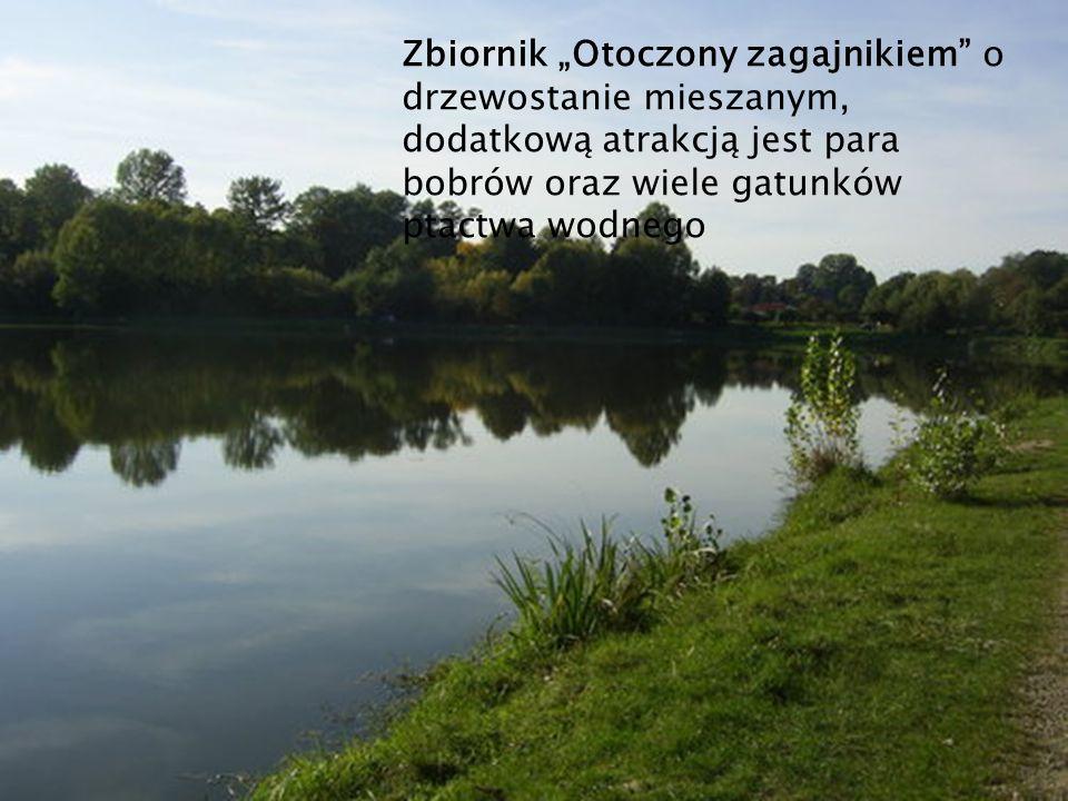 """Zbiornik """"Otoczony zagajnikiem o drzewostanie mieszanym, dodatkową atrakcją jest para bobrów oraz wiele gatunków ptactwa wodnego"""