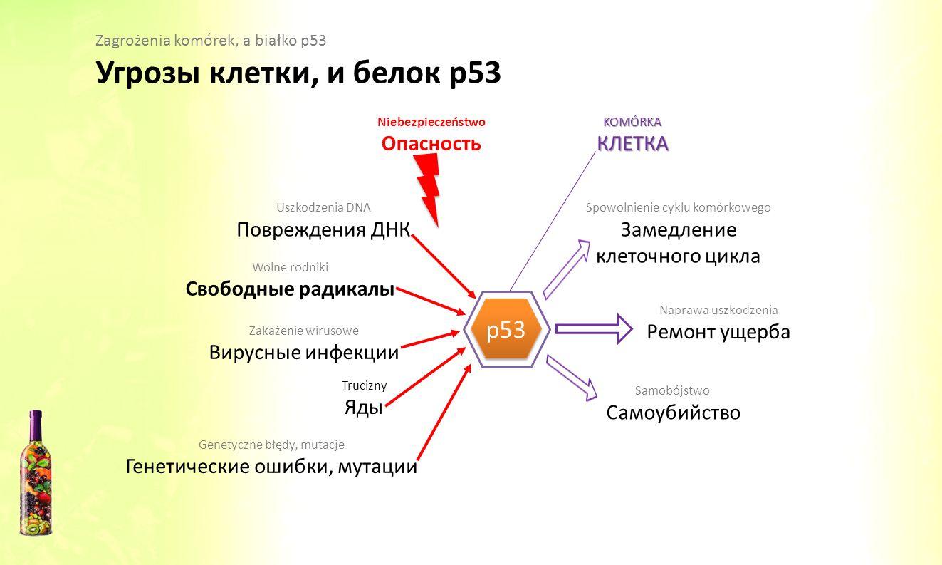 Угрозы клетки, и белок р53 p53 Опасность КЛЕТКА Повреждения ДНК