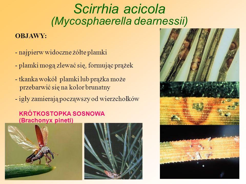 Scirrhia acicola (Mycosphaerella dearnessii)