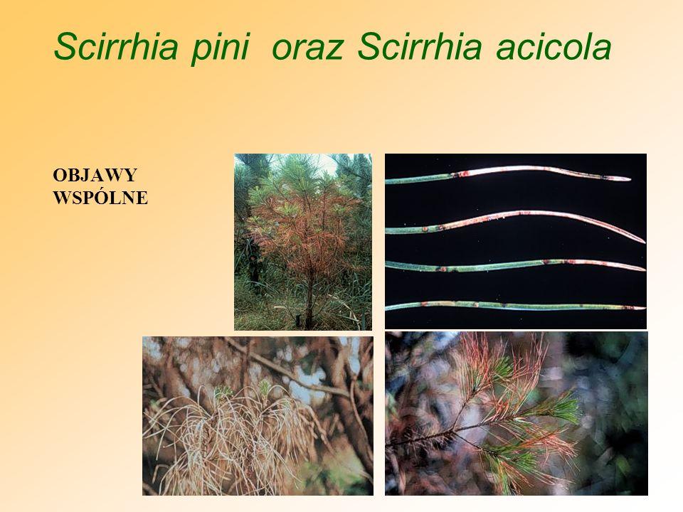 Scirrhia pini oraz Scirrhia acicola