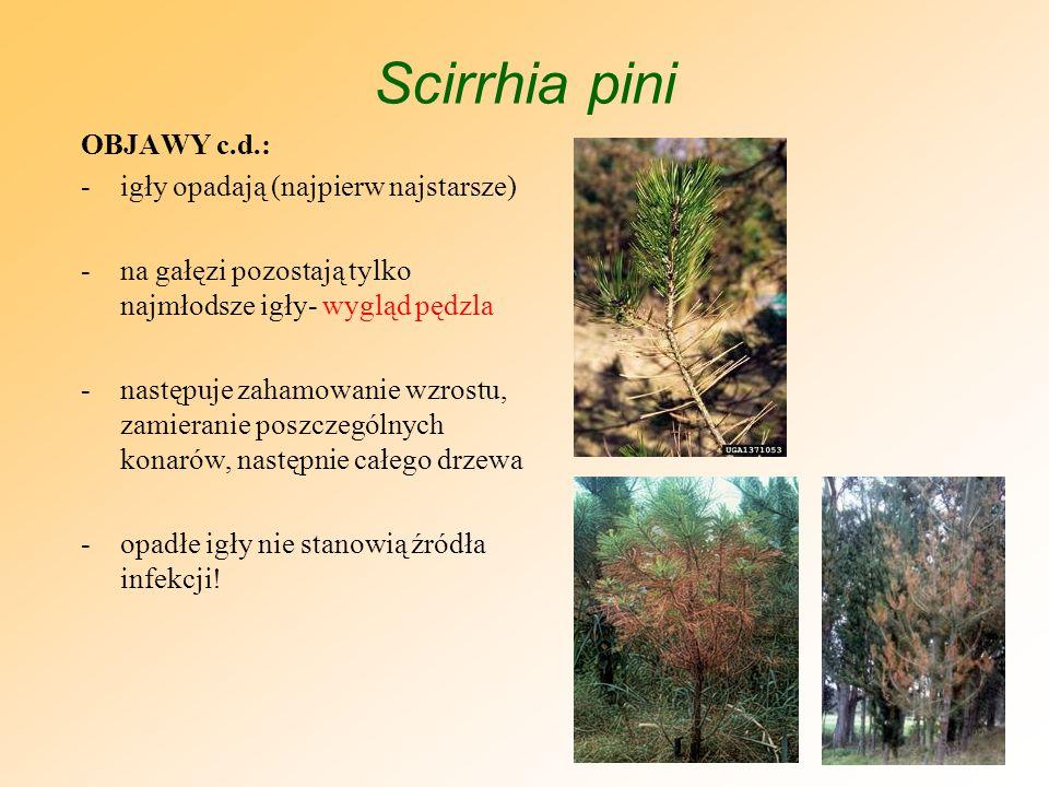 Scirrhia pini OBJAWY c.d.: igły opadają (najpierw najstarsze)