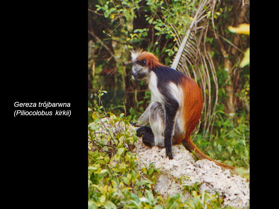 Gereza trójbarwna (Piliocolobus kirkii)