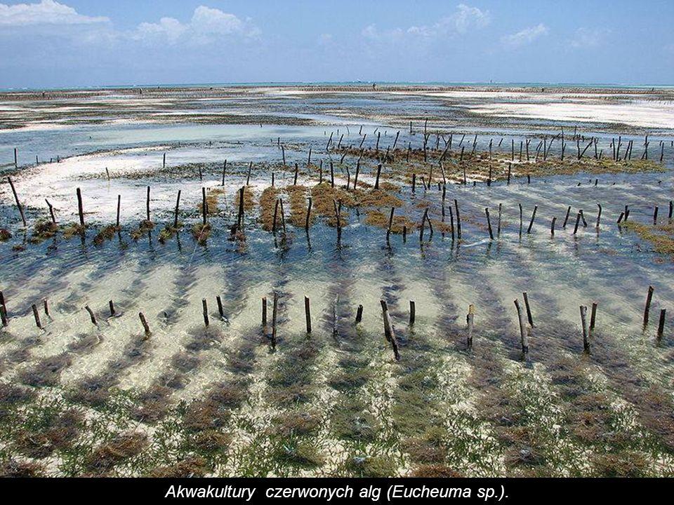 Akwakultury czerwonych alg (Eucheuma sp.).