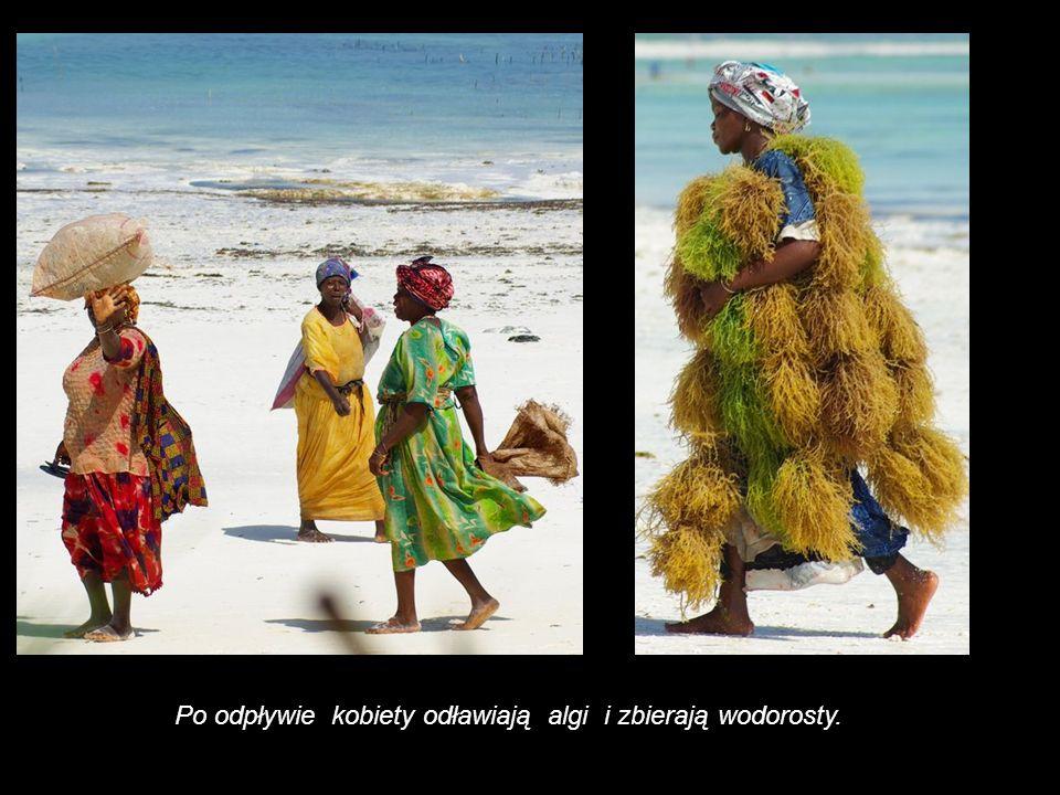 Po odpływie kobiety odławiają algi i zbierają wodorosty.