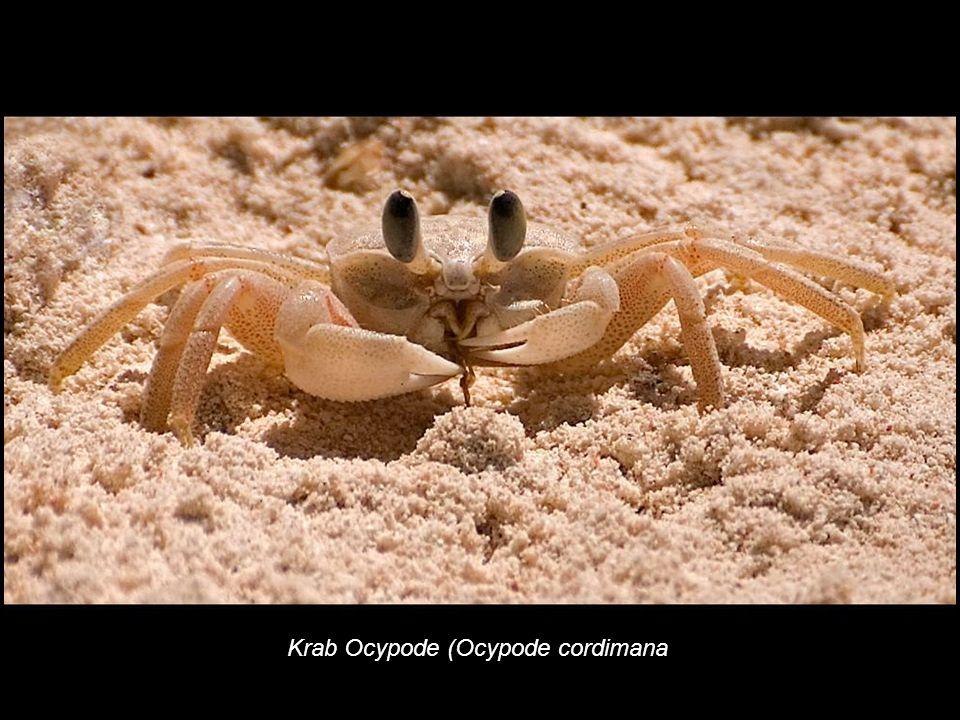 Krab Ocypode (Ocypode cordimana