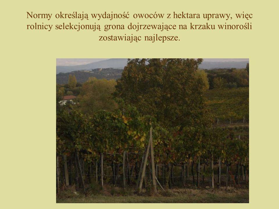 Normy określają wydajność owoców z hektara uprawy, więc rolnicy selekcjonują grona dojrzewające na krzaku winorośli zostawiając najlepsze.