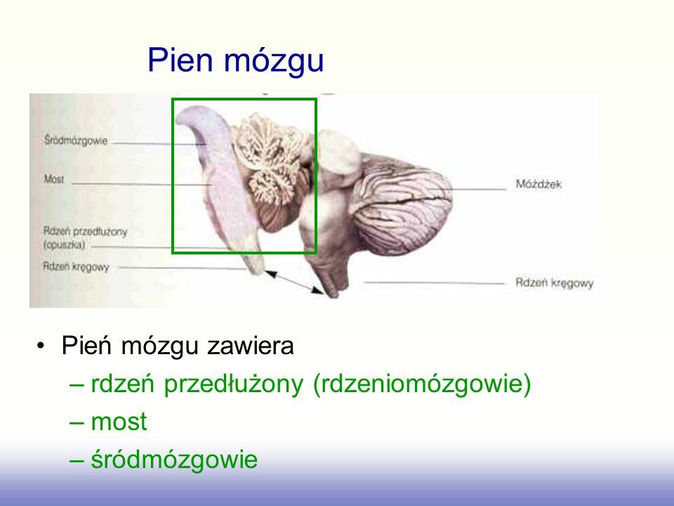 Pien mózgu Pień mózgu zawiera rdzeń przedłużony (rdzeniomózgowie) most