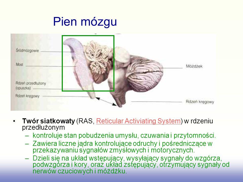 Pien mózgu Twór siatkowaty (RAS, Reticular Activiating System) w rdzeniu przedłużonym. kontroluje stan pobudzenia umysłu, czuwania i przytomności.