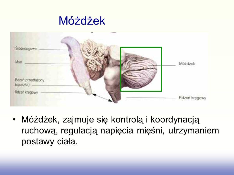 Móżdżek Móżdżek, zajmuje się kontrolą i koordynacją ruchową, regulacją napięcia mięśni, utrzymaniem postawy ciała.