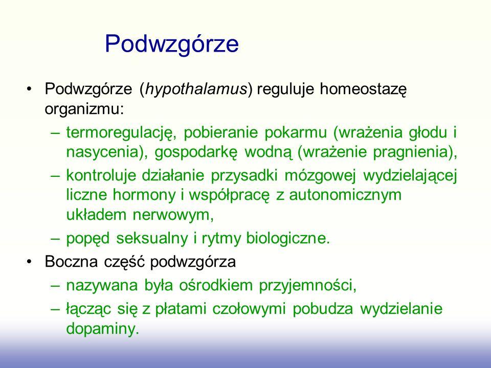 Podwzgórze Podwzgórze (hypothalamus) reguluje homeostazę organizmu: