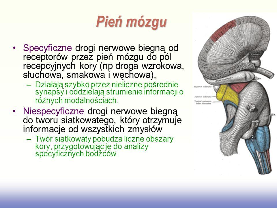 Pień mózgu Specyficzne drogi nerwowe biegną od receptorów przez pień mózgu do pól recepcyjnych kory (np droga wzrokowa, słuchowa, smakowa i węchowa),