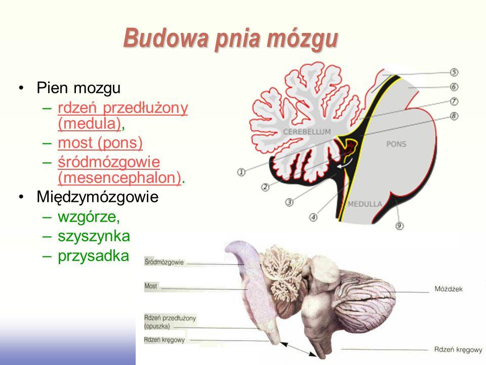 Budowa pnia mózgu Pien mozgu rdzeń przedłużony (medula), most (pons)