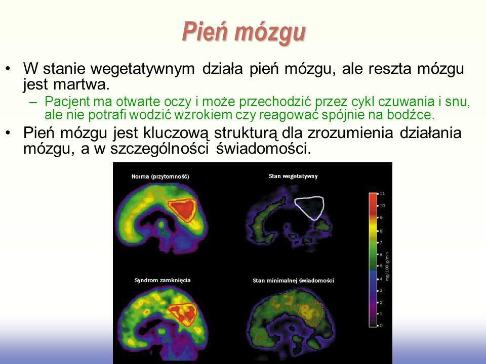 Pień mózgu W stanie wegetatywnym działa pień mózgu, ale reszta mózgu jest martwa.