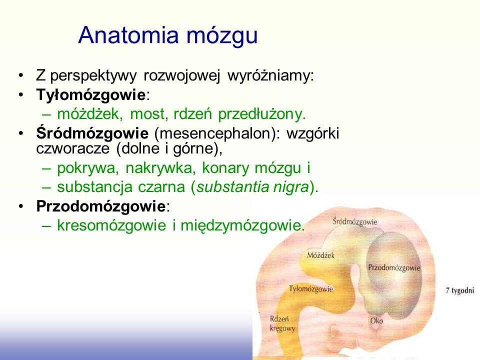 Anatomia mózgu Z perspektywy rozwojowej wyróżniamy: Tyłomózgowie: