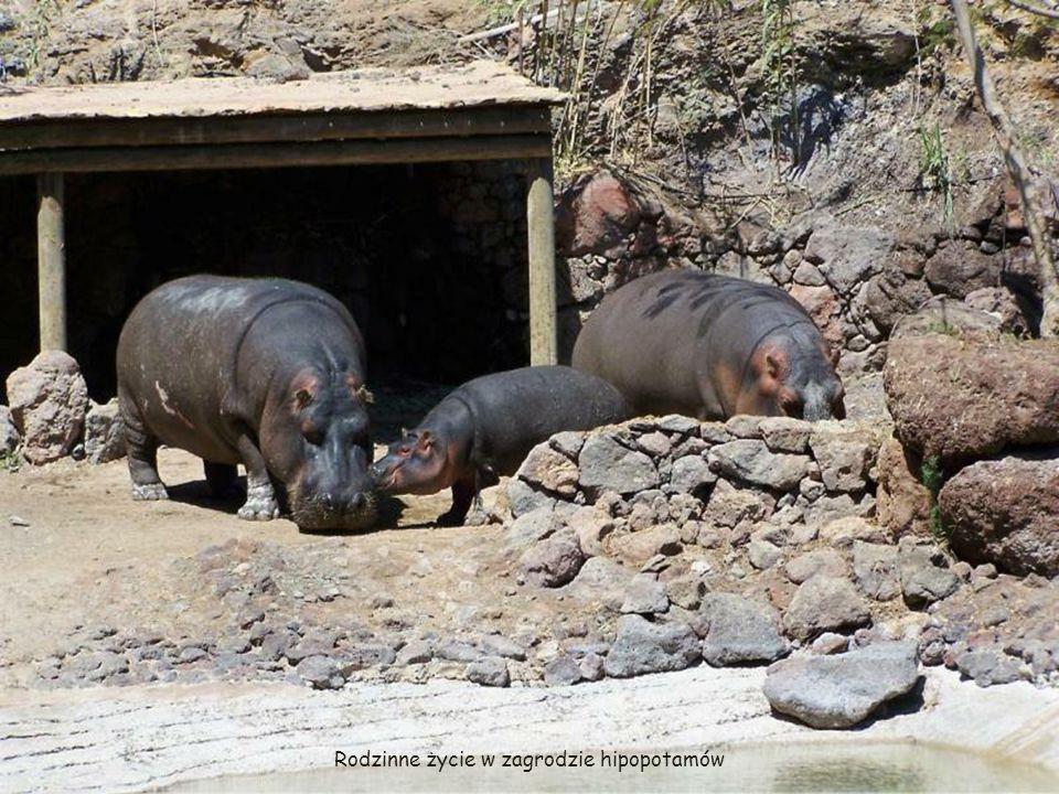 Rodzinne życie w zagrodzie hipopotamów