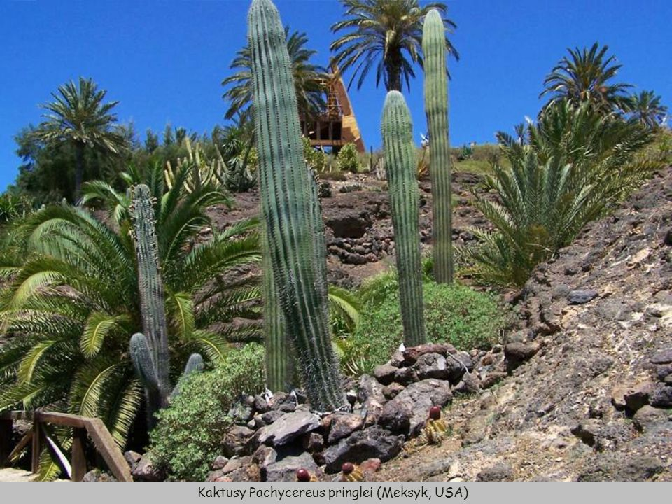 Kaktusy Pachycereus pringlei (Meksyk, USA)