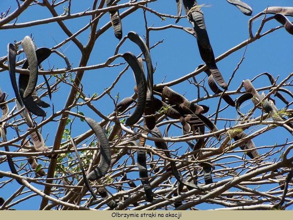 Olbrzymie strąki na akacji
