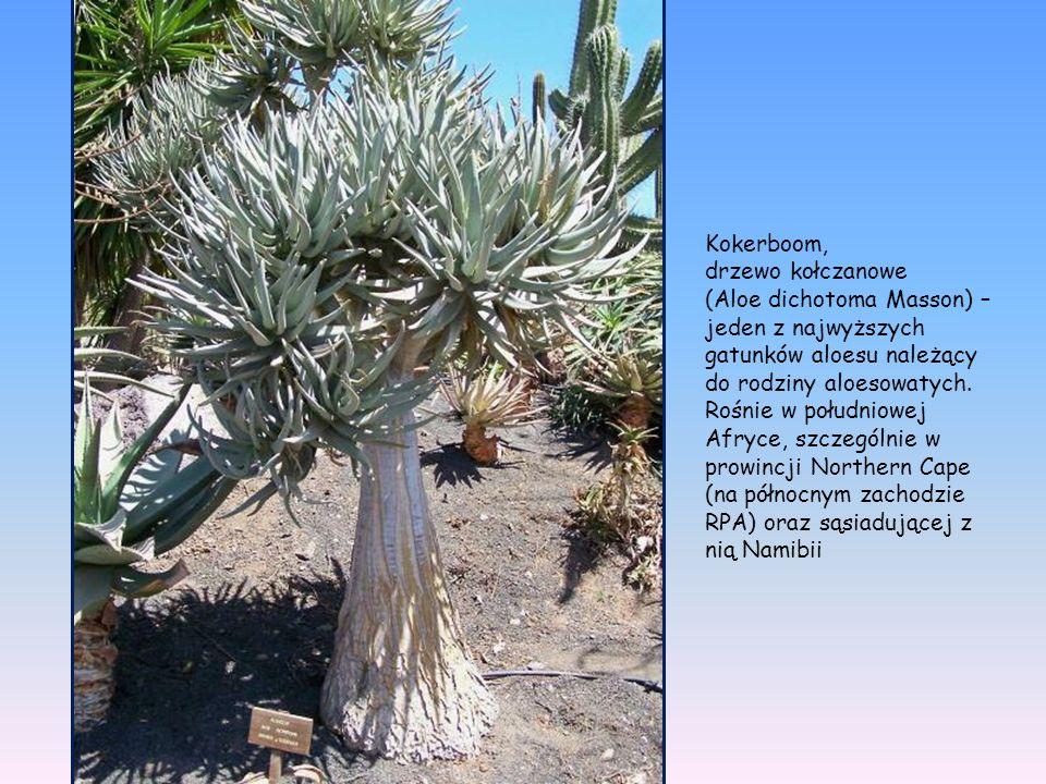 Kokerboom, drzewo kołczanowe.