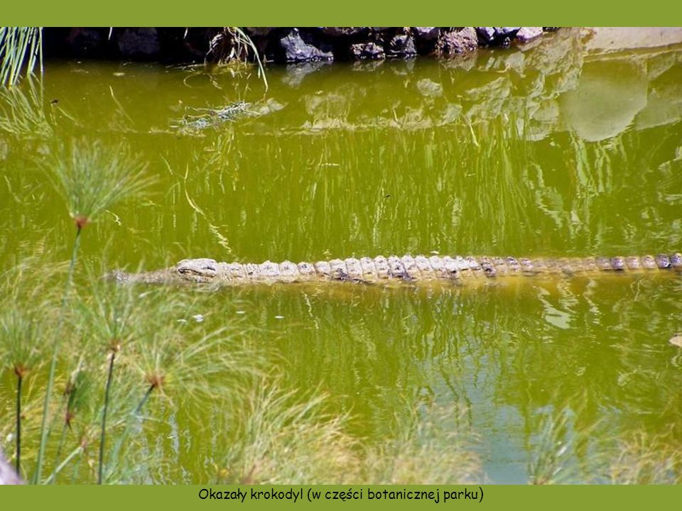 Okazały krokodyl (w części botanicznej parku)