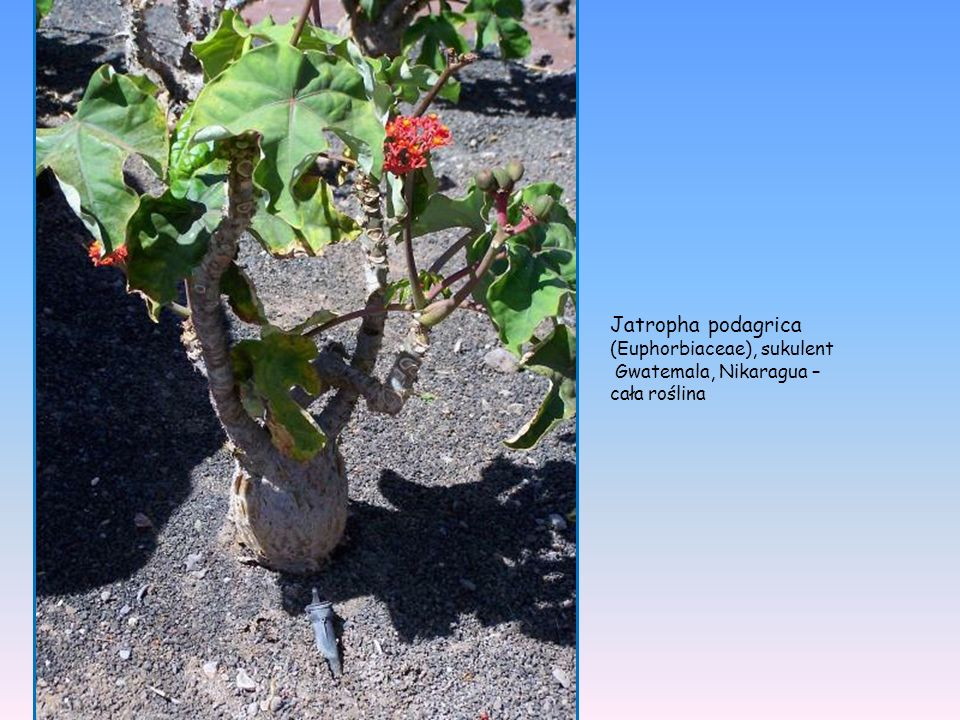 Jatropha podagrica (Euphorbiaceae), sukulent Gwatemala, Nikaragua –