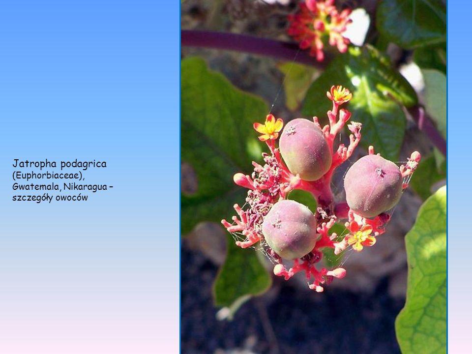 Jatropha podagrica (Euphorbiaceae), Gwatemala, Nikaragua –