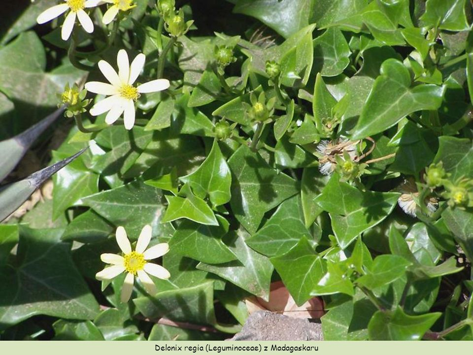 Delonix regia (Leguminoceae) z Madagaskaru