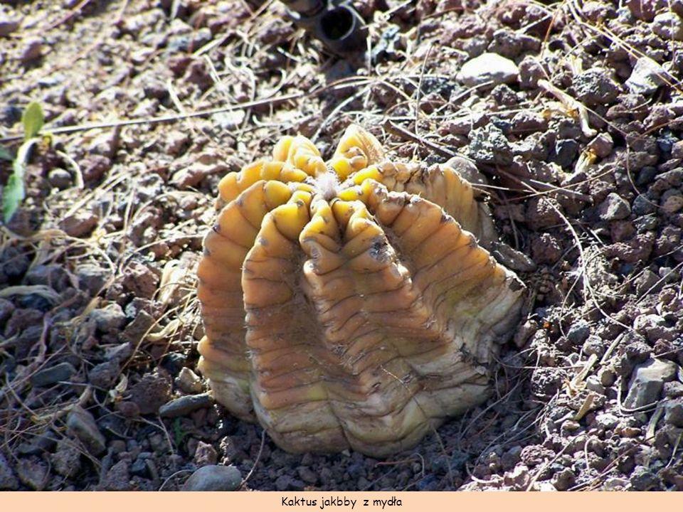 Kaktus jakbby z mydła