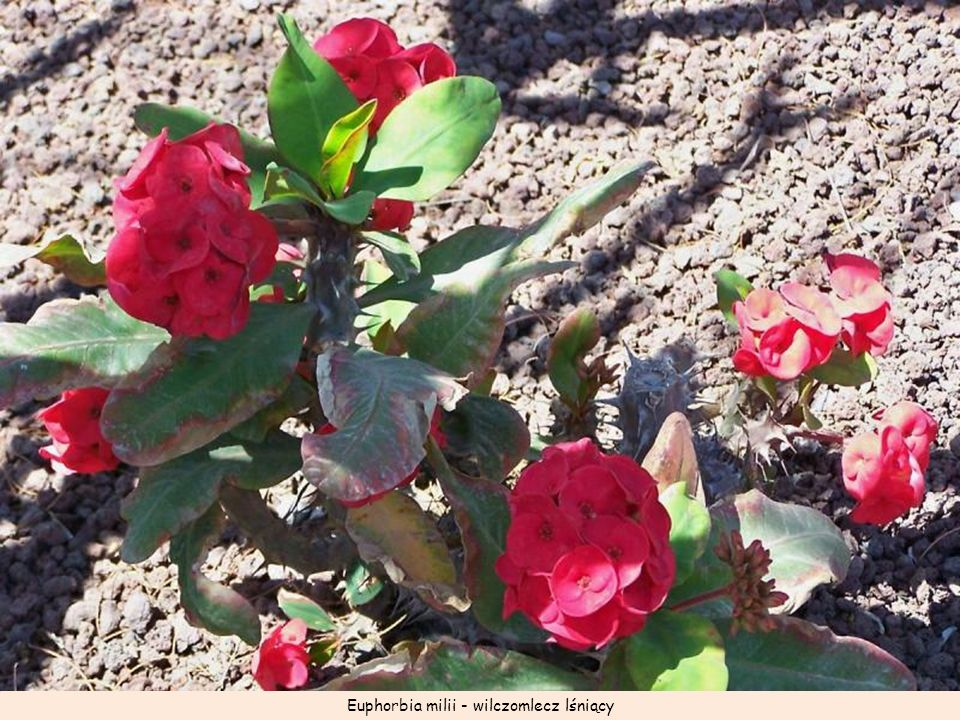 Euphorbia milii - wilczomlecz lśniący