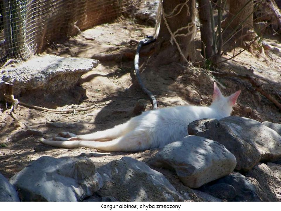 Kangur albinos, chyba zmęczony