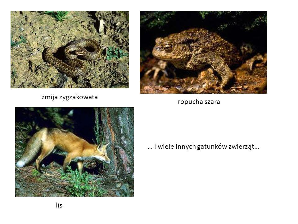 żmija zygzakowata ropucha szara … i wiele innych gatunków zwierząt… lis